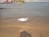 ibis-bia%c5%82y-w-naama-bay